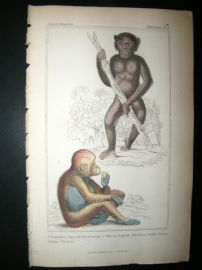 Cuvier C1835 Antique Hand Col Print. The Black Ourang, The Red Ourang, 6